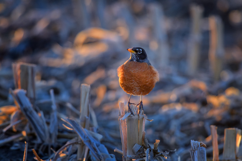 American Robin Adult Male (Turdus migratorius) on corn stalk near Kearney, Nebraska