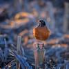 American Robin Adult Male (Turdus migratorius) on corn stalk near Kearney, Nebraska