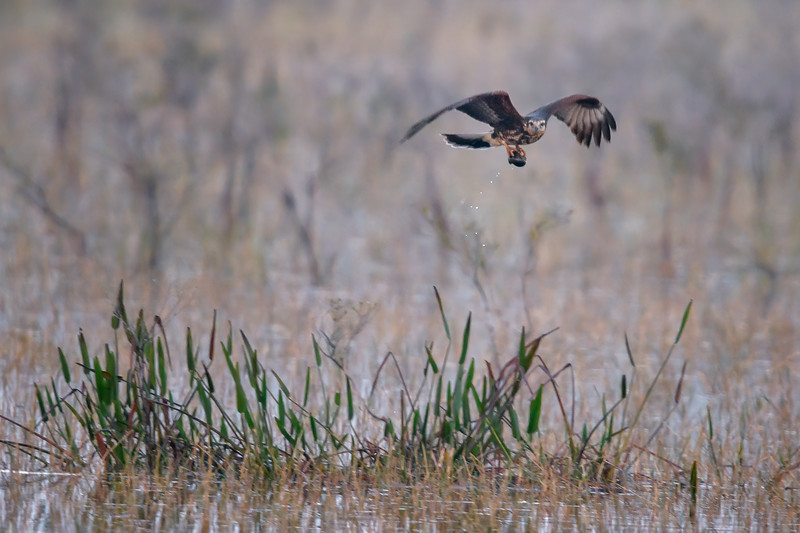 An endangered Juvenile Snail kite in flight at Babcock Wildlife Management Area near Punta Gorda, Florida