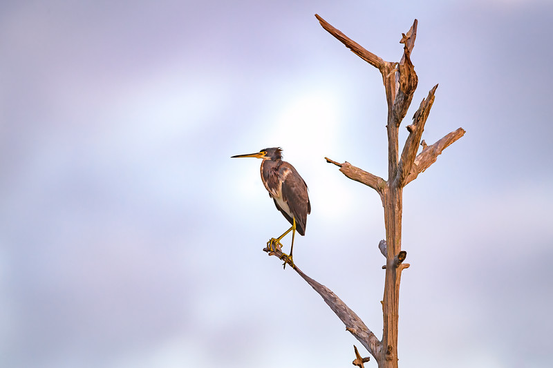 Tricolored heron perched on a limb of a snag at sunrise at Babcock Wildlife Management Area near Punta Gorda, Florida