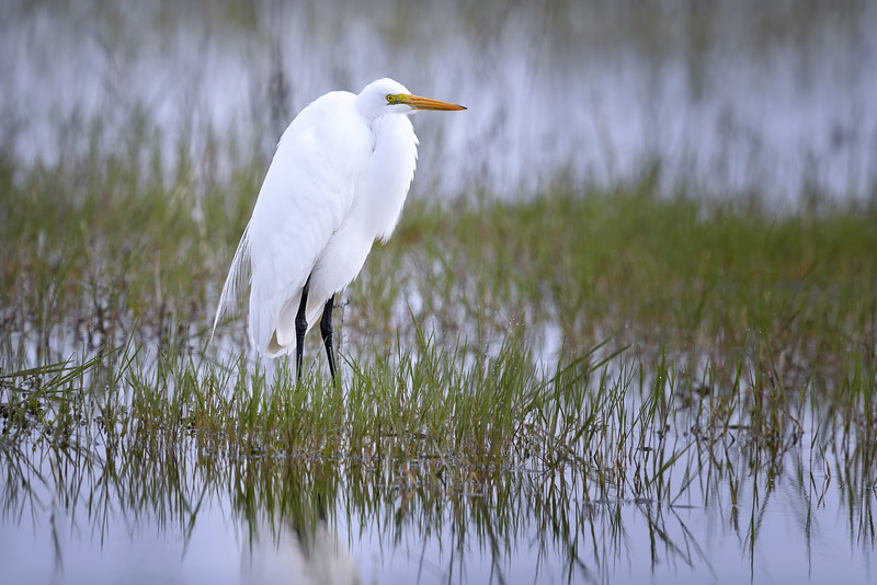 Great egret (Ardea alba) in Babcock Wildlife Refuge, Punta Gorda, Florida