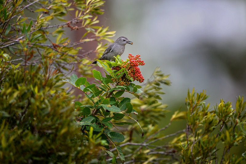 Gray Catbird (Dumetella carolinensis) eating berries in Fred C. Babcock/ Cecil M. Webb Wildlife Management Area, Punta Gorda, Florida