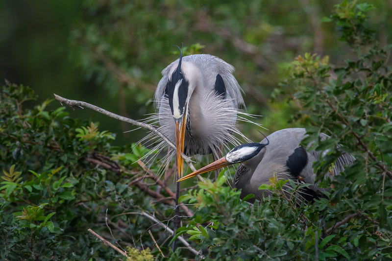Great blue heron (Ardea herodias) couple adding a stick to their nest at the Venice Audubon Rookery, Venice, Florida