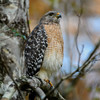 Red-shouldered hawk (Buteo lineatus) at Corkscrew Swamp Sanctuary, Naples, Florida