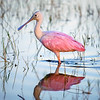 Roseate spoonbill at sunrise in Babcock Wildlife Management Area near Punta Gorda, Florida