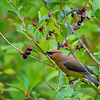 Cedar waxwing eating berries at The Lowell Riverfront Trail in Everett, Washington State