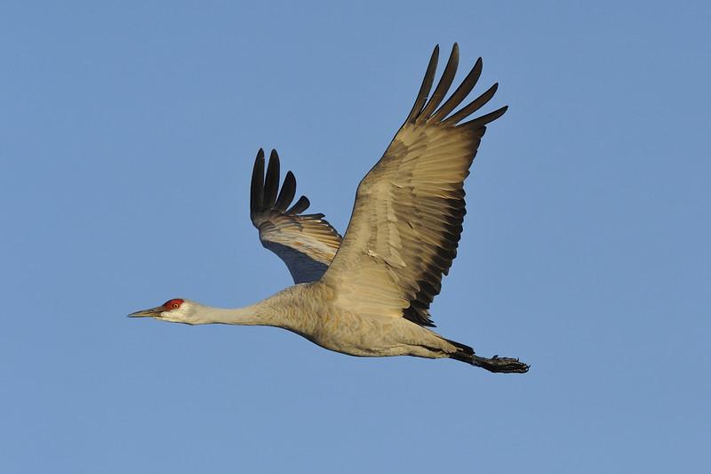 Sandhill Crane in Flight Over the Platte River at sunset, Nebraska