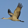 Sandhill Crane in Flight Over the Platte River at sunset, Nebraska