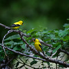 Two American Goldfinches near Wood River, Nebraska
