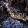 Limpkin (Aramus guarauna) with snail at Babcock Wildlife Management Area, Punta Gorda, Florida