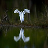 Great egret with reflection taking flight at Ten Thousand Islands National Wildlife Refuge, Naples, Florida