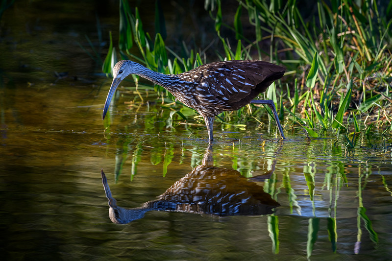 Limpkin (Aramus guarauna) and reflection, Babcock Wildlife Management Area, Punta Gorda, Florida