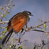 White-browed coucal (Centropus superciliosus) in Masai Mara, Kenya, East Africa, White-browed coucal (Centropus superciliosus) in Masai Mara, Kenya, East Africa