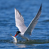 Caspian Tern catching a fish at low tide at Jetty Island, Everett, Washington