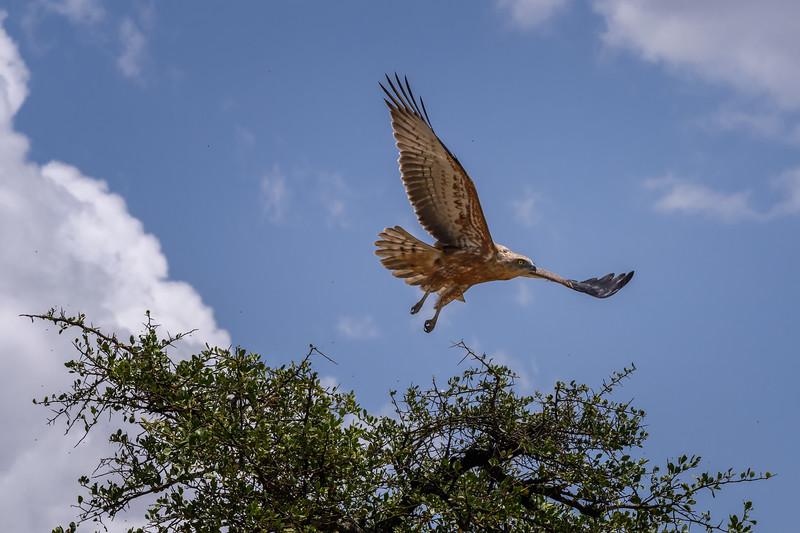 Tawny eagle (Aquila rapax) in flight, Masai Mara, Kenya, East Africa
