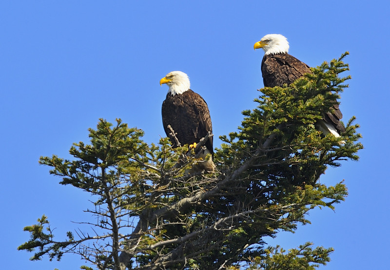 Two Eagles at Dungeness National Wildlife Refuge, Olympic Penisula
