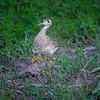 Upland Sandpiper (also known as an Upland Plover) in Fort Niobrara National Wildlife Refuge near Valentine, Nebraska
