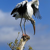 Wood Stork in the Everglades, Florida