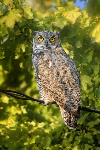 Great Horned Owl in Ninepipe National Wildlife Refuge, Montana