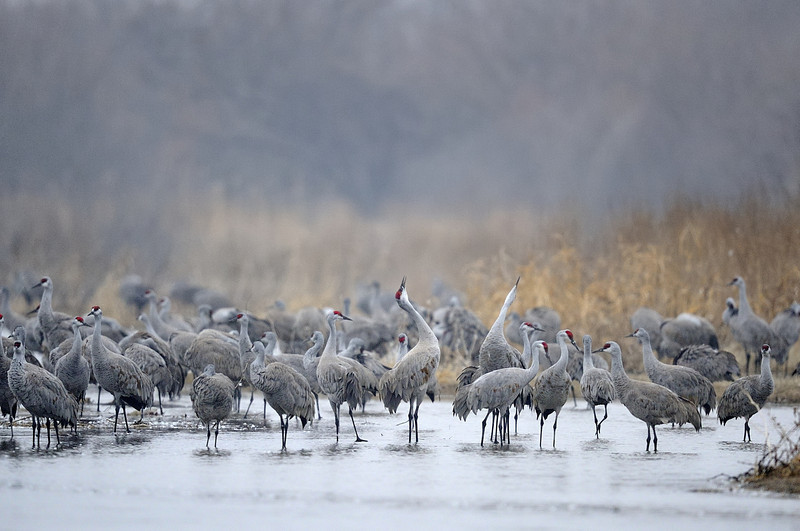 Sandhill Cranes Trumpeting on the Platte River, Nebraska