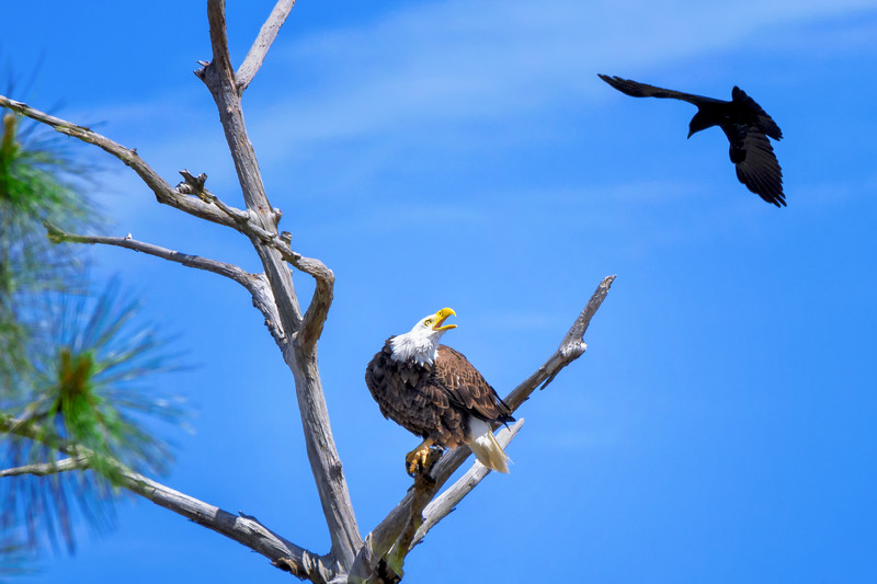 The female Bald eagle (Haliaeetus leucocephalus) known as Harriet being harassed by a Common grackle (Quiscalus quiscula), Fort Myers, Florida