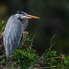 Great Blue Heron (Ardea herodias) on nest at Venice Rookery, Venice, Florida
