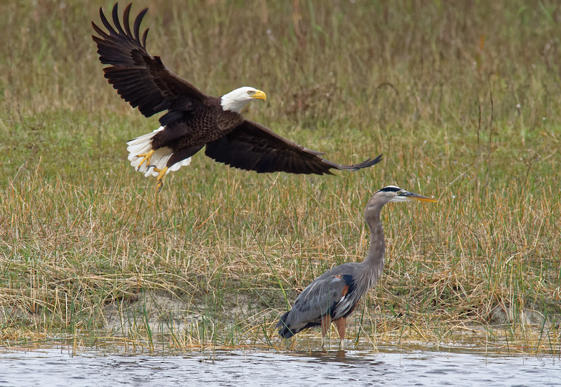Bald eagle trying to steal Great Blue Heron's catch