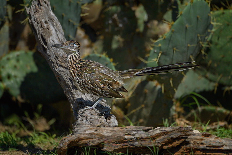 Greater Roadrunner (Geococcyx californianus) in South Texas