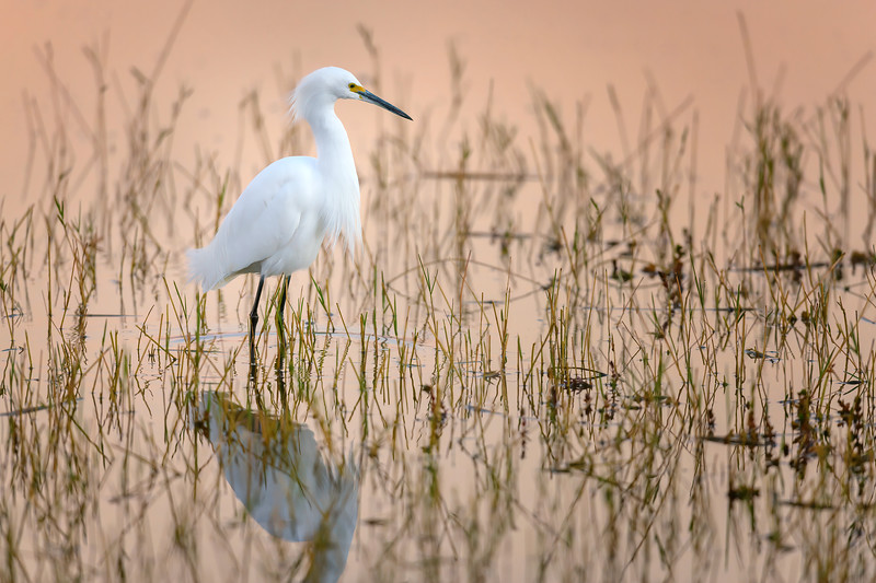 Snowy egret and reflection just after sunrise at Babcock Wildlife Management Area near Punta Gorda, Florida