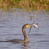 Cormorant with fish at Babcock Wildlife Management Area near Punta Gorda, Florida