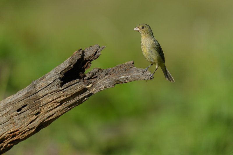 Female Painted Bunting (Passerina ciris), South Texas