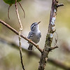 Black-and-white warbler (Mniotilta varia) at Corkscrew Swamp Sanctuary, Florida