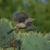 Cactus Wren (Campylorhynchus brunneicapillus) in flight, South Texas