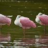 """Three Roseate Spoonbills at J. N. """"Ding"""" Darling National Wildlife Refuge on Sanibel Island, Florida"""
