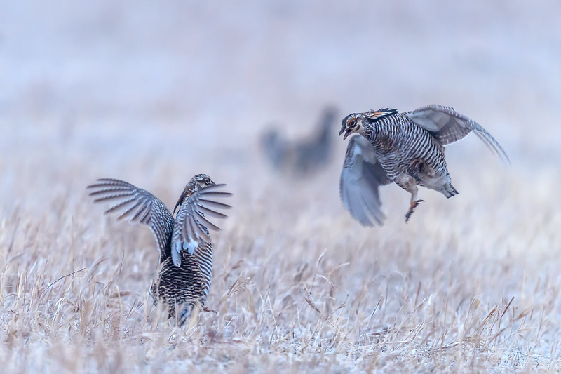 Male Greater Prairie Chickens fighting for dominance near Burwell, Nebraska