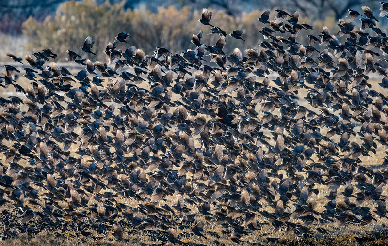 Flock of female red-winged blackbirds take flight at Bosque del Apache Wildlife Refuge, New Mexico