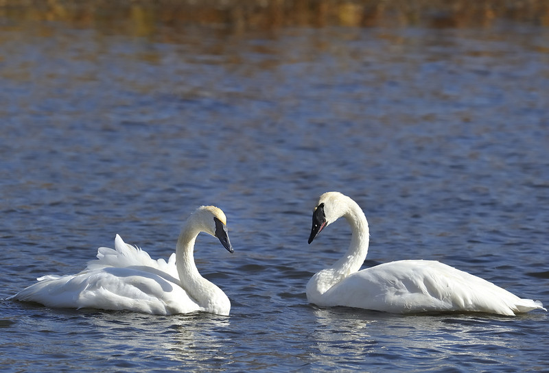 Two Trumpeter swans (Cygnus buccinator), Jackson, Wyoming