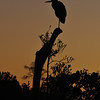 Silhouetted Heron at Sunrise, Everglades, Florida