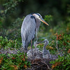 Great blue heron (Ardea herodias) with two week old chicks at Venice Audubon Rookery, Venice, Florida