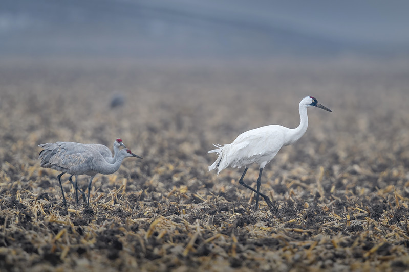 Whooping Crane (Grus americana) with two Sandhill Cranes in a cornfield near Gibbon, Nebraska during the annual Sandhill Crane migration