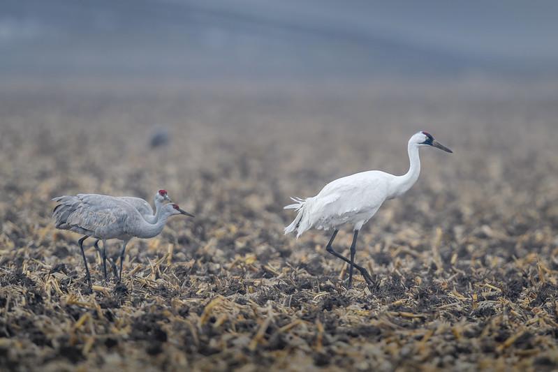 Whooping Crane (Grus americana) with two Sandhill Cranes in a cornfield near Gibbon, Nebraska during the annual Sandhill Crane migration