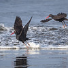 Two Black Oystercatchers (Haematopus bachmani) taking off on Bandon Beach, Oregon
