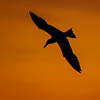 Silhouette of Caspian tern in flight at sunrise over marsh at Ten Thousand Islands National Wildlife Refuge, Naples, Italy