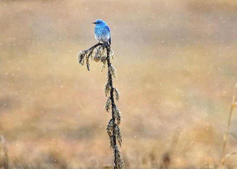 Bluebird in the Rain in Grand Teton National Park, Wyoming