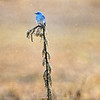 Bluebird in the Rain in Grand Teton National Park, Wyoming