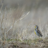 Strange Meadowlark (named by Dave Brubeck and Marian McPartland), Western Meadowlark (Sturnella neglecta), Nebraska