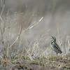 Strange Meadowlark (named by Dave Brubeck and Marian McPartland), Western Meadowlark (Sturnella neglecta), Nebraska