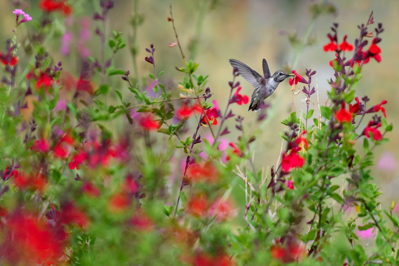 Black-chinned hummingbird (Archilochus alexandri) enjoying the flowers at the Desert Botanical Garden, Phoenix, Arizona