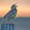 Western meadowlark singing  on a fence post at sunrise in Fort Niobrara National Wildlife Refuge near Valentine, Nebraska