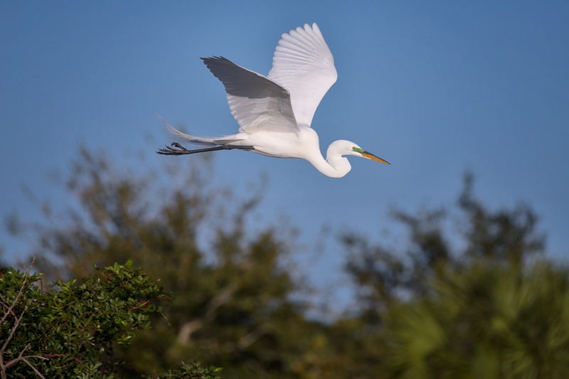 Great egret (Ardea alba) with breeding plumage in flight at Venice Rookery, Venice, Florida
